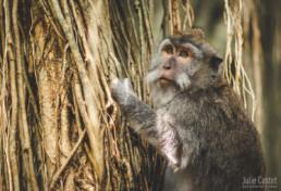 Monkey, Ubud