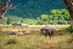 Roaming buffaloes, Northern Laos